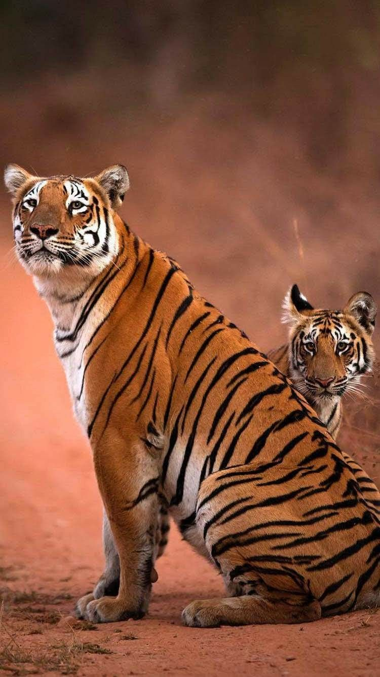 Tigers Best Iphone Wallpapers Coffee Wallpaper Iphone Cool Iphone 6 Wallpapers