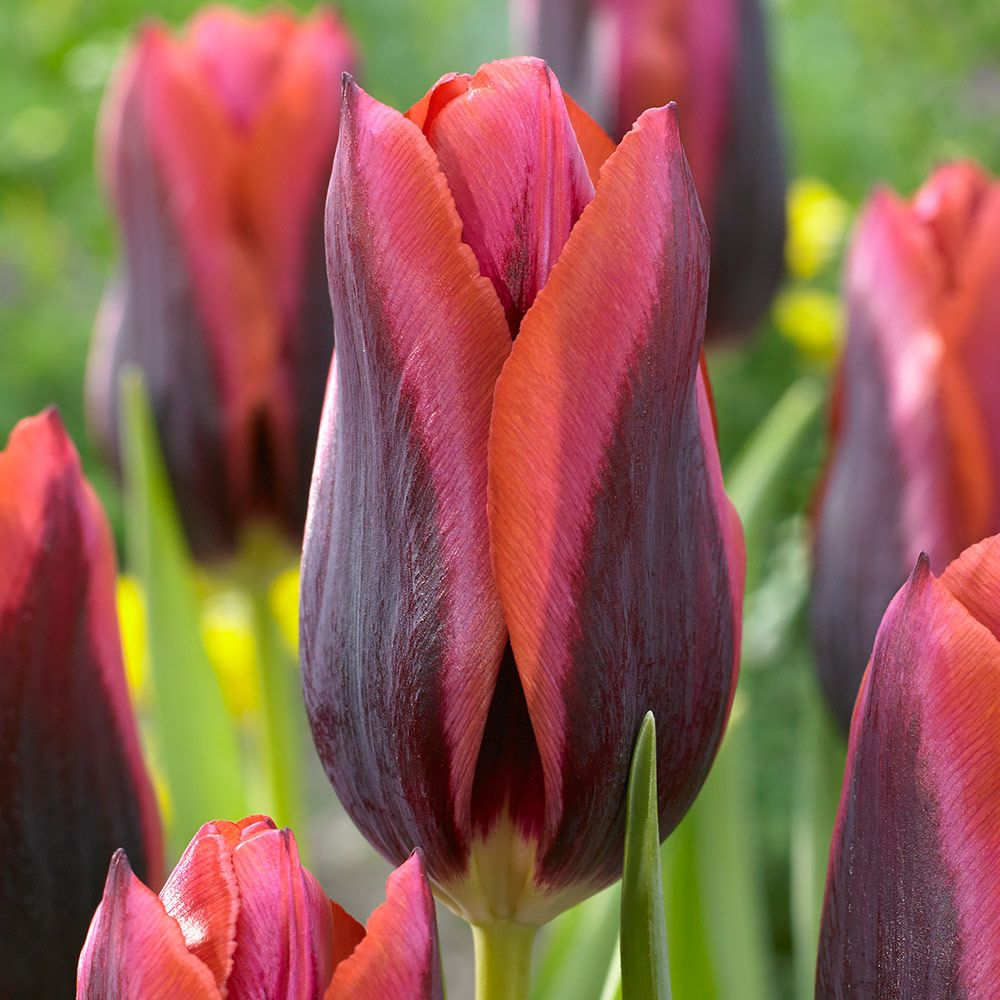 Buy Tulip Slawa J Parkers Dutch Bulbs Tulips, Planting