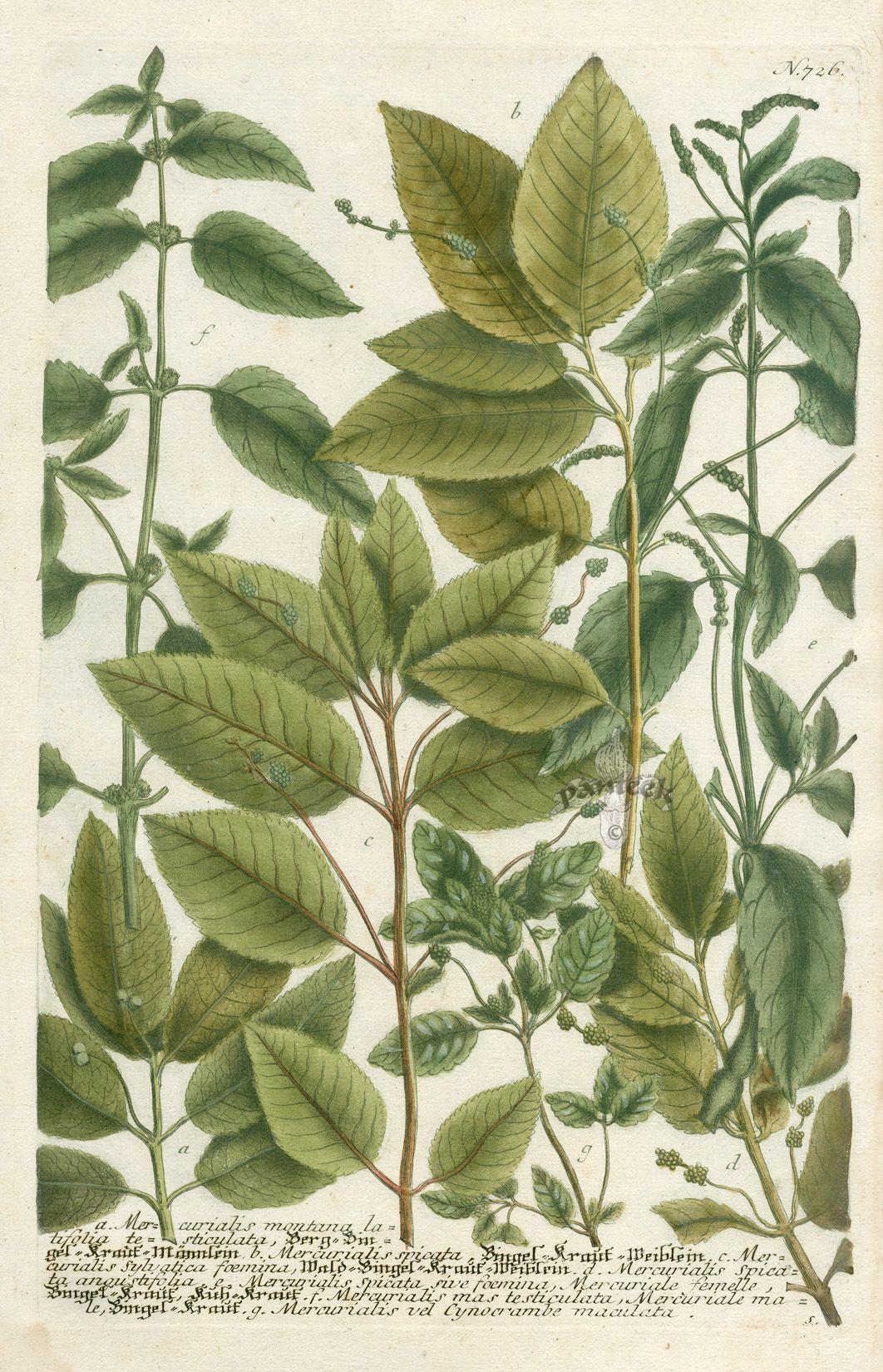 Mercurialis montana latifolia testiculata (1062×1650)