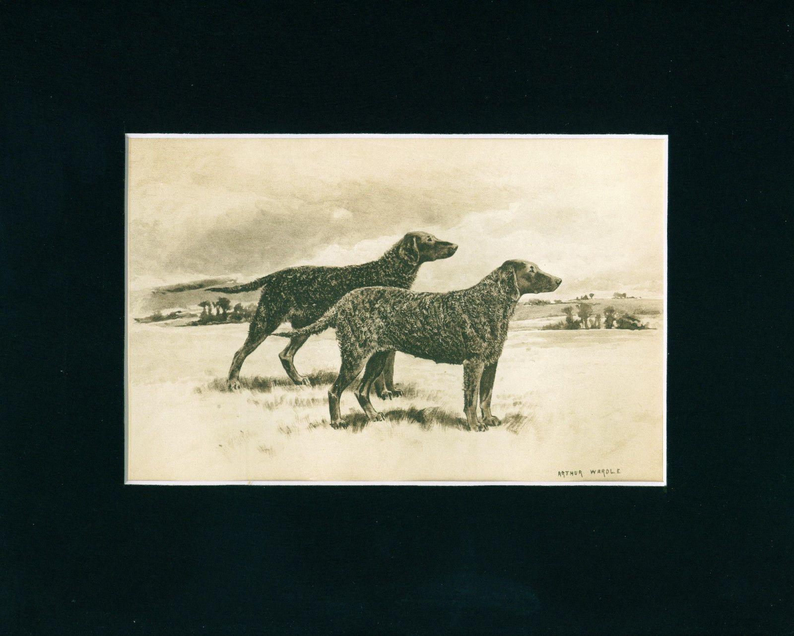 Dog Print 1906 Curly Coated Retriever Dogs by Arthur