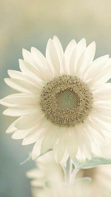 pingl par penny sur plants pinterest fleurs belles fleurs et fleur jardin. Black Bedroom Furniture Sets. Home Design Ideas