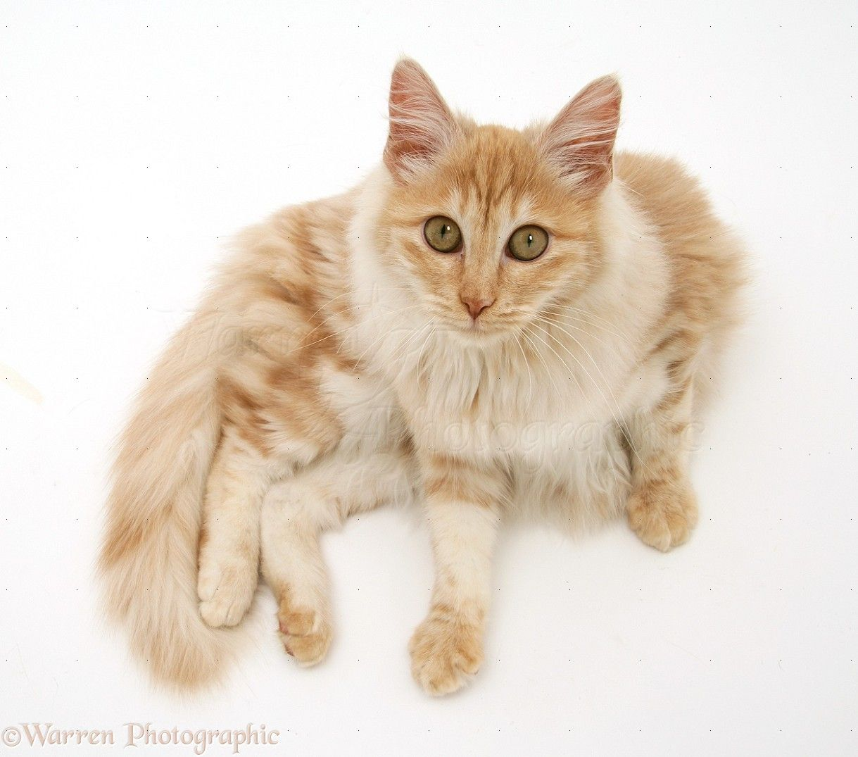 Turkish Angora Cat is a breed of domestic cat Turkish Angoras are