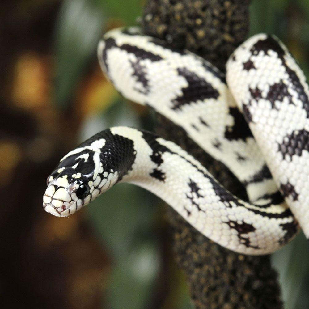 Black Snakes White Chicks