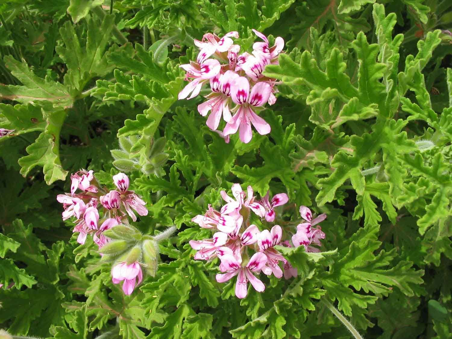 geranium pelargonium graveolens botanicals we work with pinterest plants garden ideas. Black Bedroom Furniture Sets. Home Design Ideas