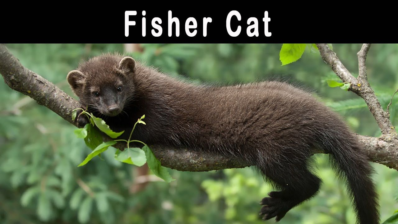 Fisher Cat Pictures Related Pictures Fisher Cat