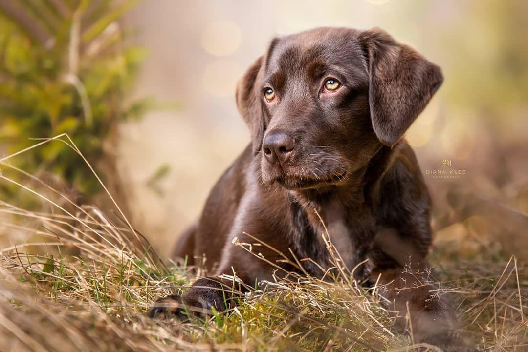 Elly Labrador Junghund Dog Photos Dog Portraits Dogs