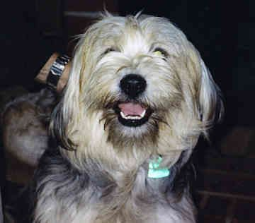 Tibetan Terrier Dogs Puppies Tibetan Terrier Top Dog Breeds Terrier