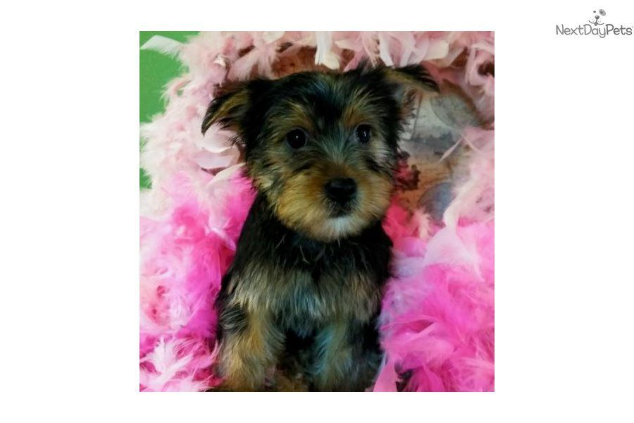 Lucy Yorkshire Terrier Yorkie Puppy For Sale Near Jacksonville