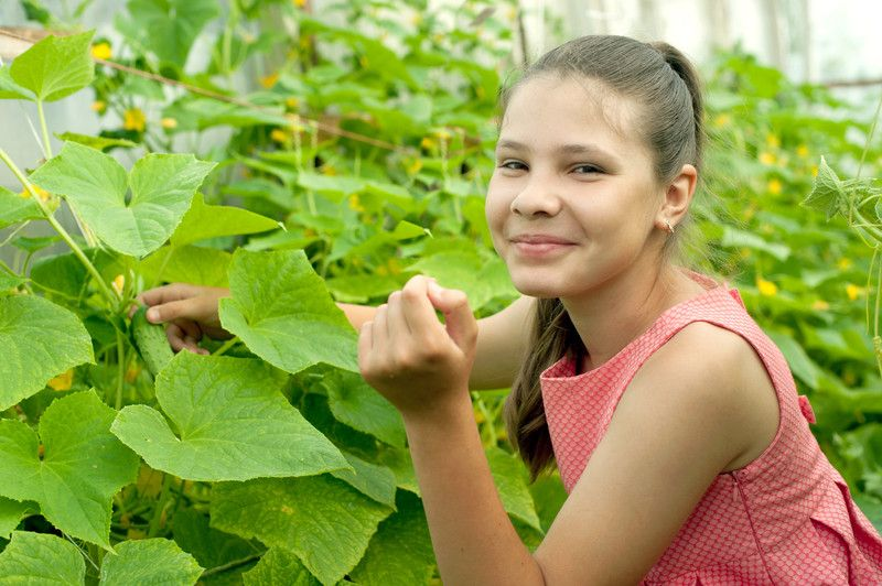 Gurken aus dem eigenen Garten schmecken immer noch am besten
