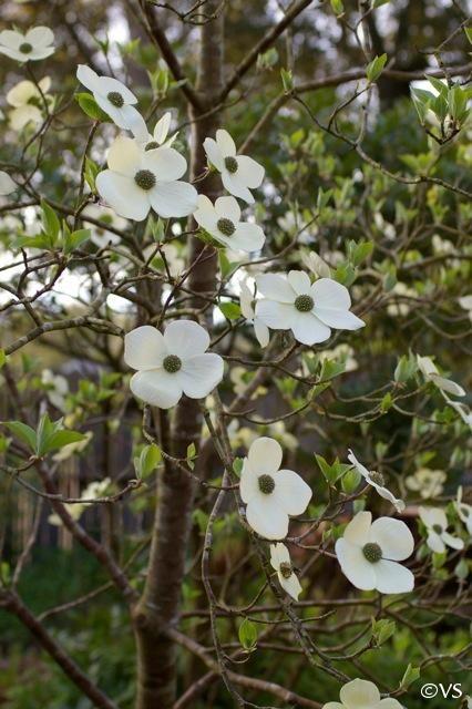 Cornus Nuttallii California Flora Nursery Dogwood Trees Pacific Dogwood Dogwood Flowers