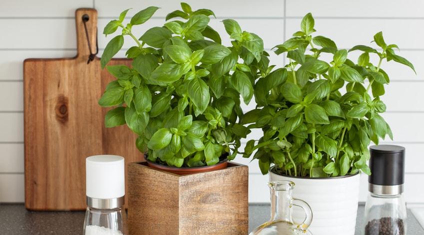 comment faire pousser ses plantes aromatiques dans sa. Black Bedroom Furniture Sets. Home Design Ideas