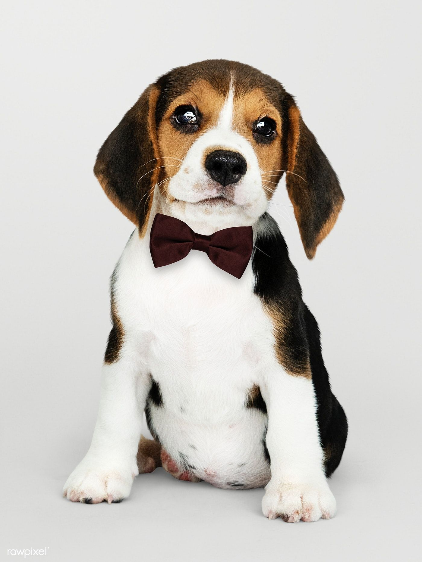Download Premium Psd Of Cute Beagle In A Dark Brown Bow Tie 547756