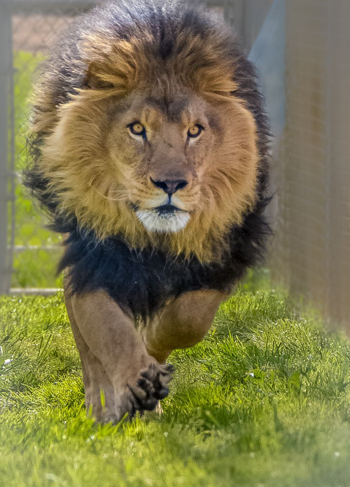 Image result for Charginglion Weird animals, Lion of