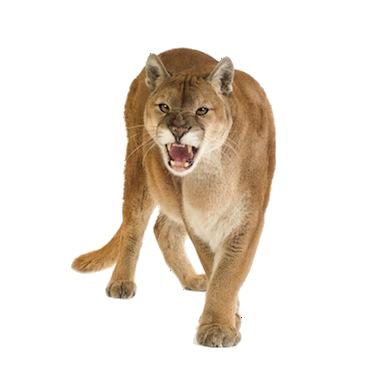 Puma Animal Png Buscar Con Google Mountain Lion Animals Puma Cat