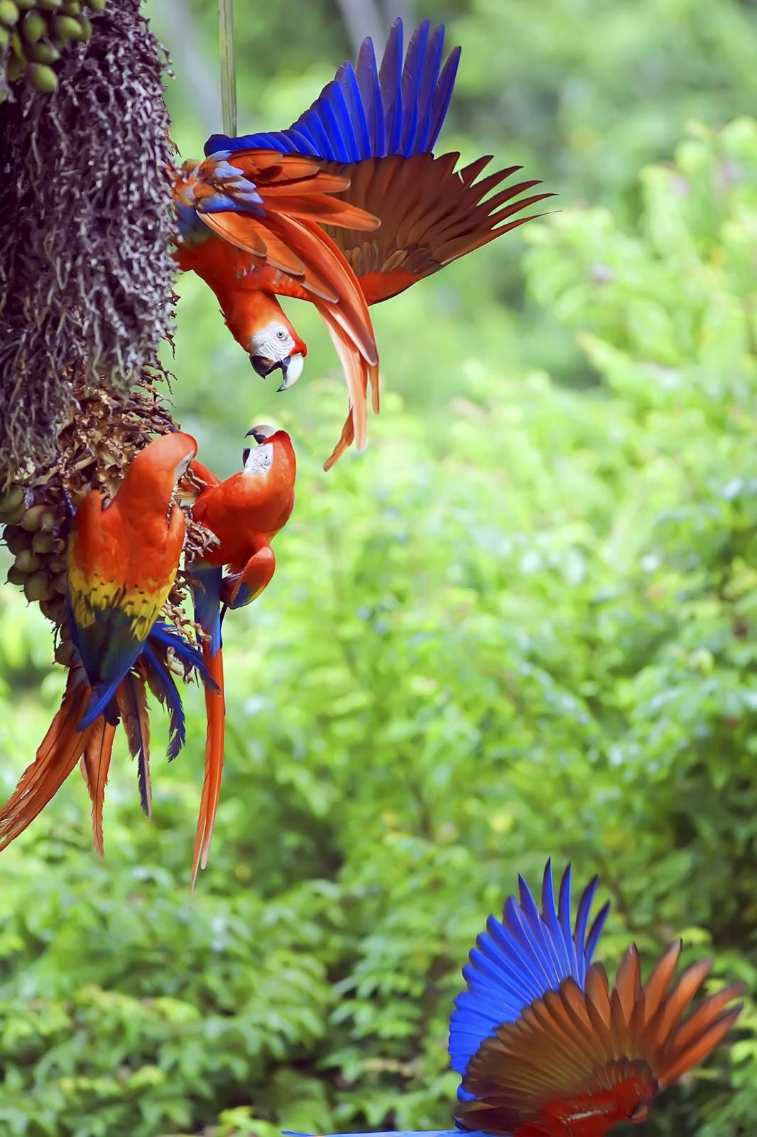 Pin by My Lovely Birds on Scarlet Macaw Costa rica