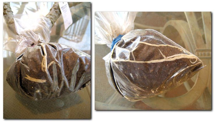 Rooting Plumerias in a bag with soil and no water. Valley Of The Sun Plumeria Society - Arizona