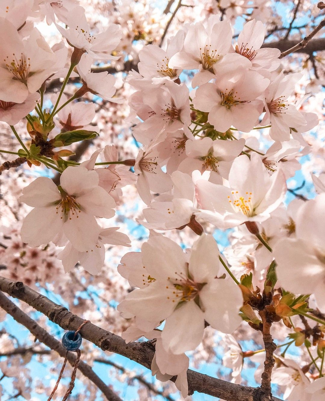Central Park Cherry Blossoms Spring In New York Cherry Blossom Tree Nyc Spring