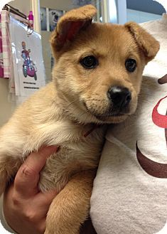 St Charles Mo Corgi Chihuahua Mix Meet Daphne A Puppy For