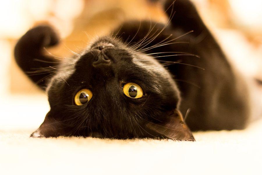 Vera Cat #Feline #Cat #Kitty #Kitten #Pet #Animal