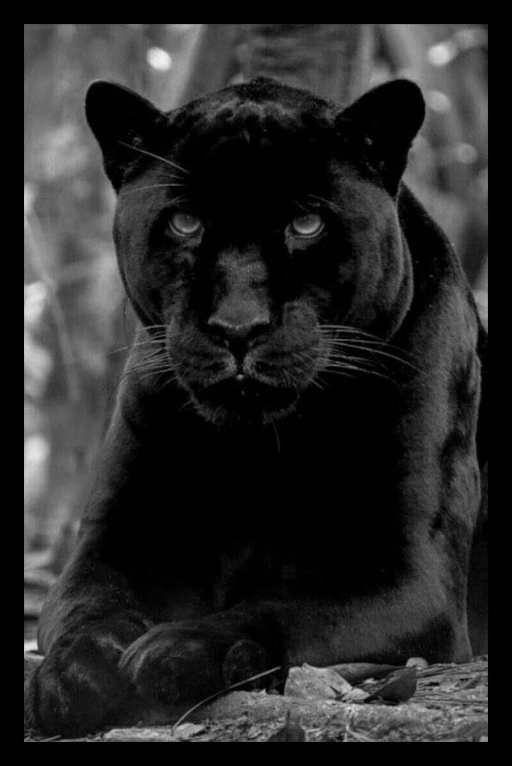 Awesome pic Panther cat, Black panther cat, Big cats