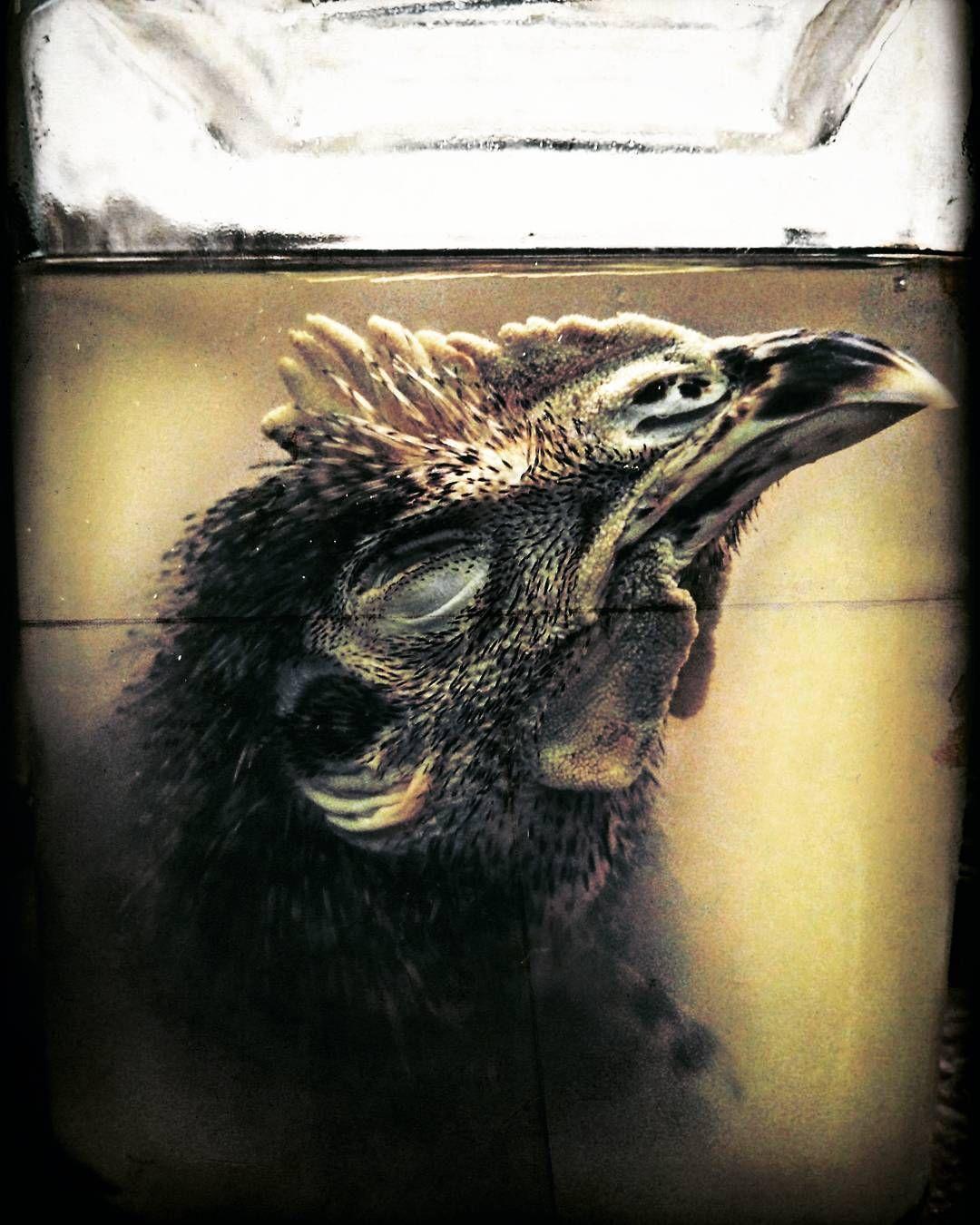 Wetspecimen Chicken Head That Voodoo Like You Do Wunderkammer  # Wunderkammer Muebles