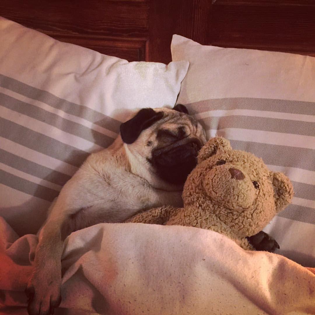 Картинки спокойной ночи с мопсом