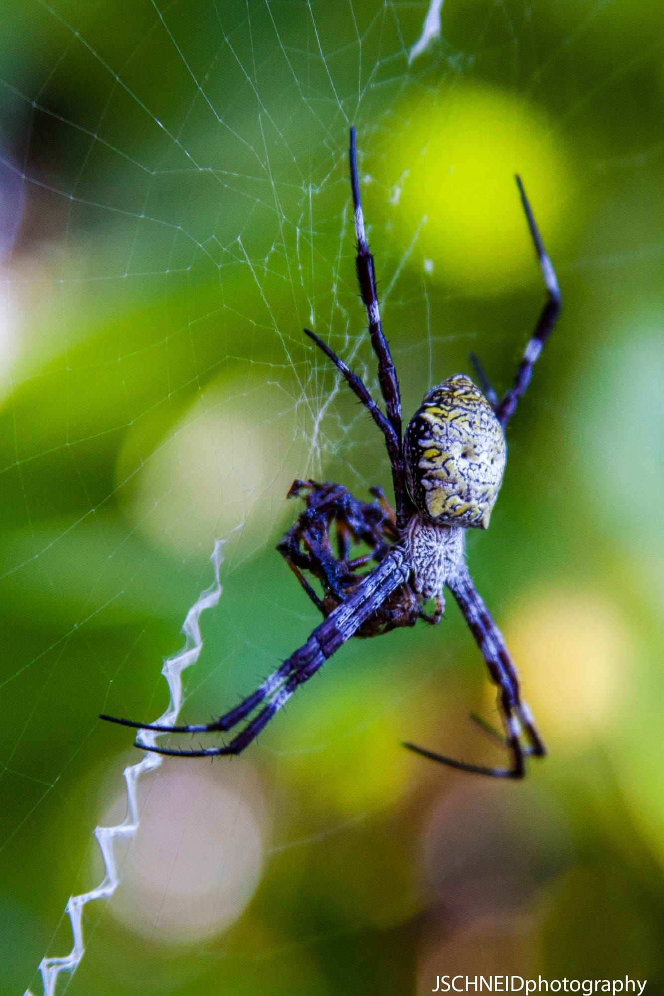 A Garden Spider Having A Meal In Its Web, Poipu,