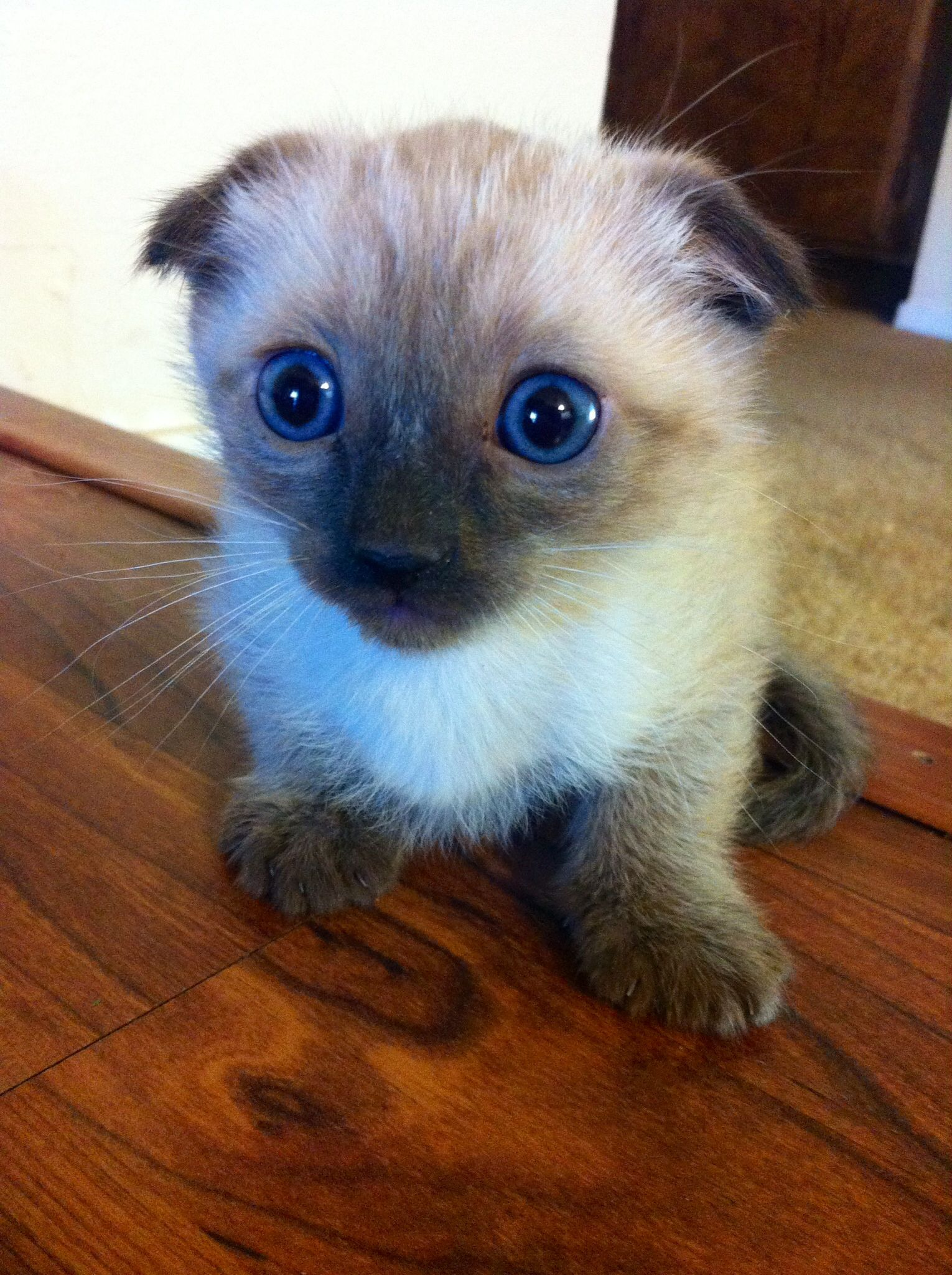 Male Siamese Fold kitten :) | Scottish Fold Kittens | Pinterest ...