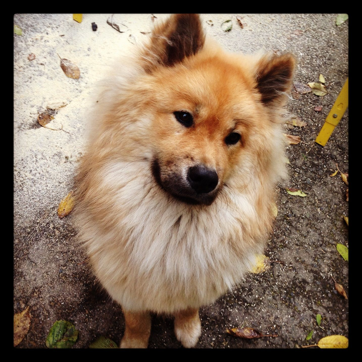 eurasier ♥ (With images) Pet dogs, Dog breeds, Animals