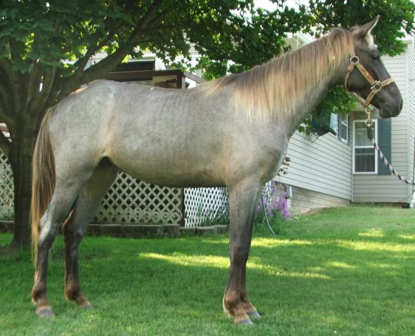 This stunner is the aptly name Chocolate Roan, a roan ...