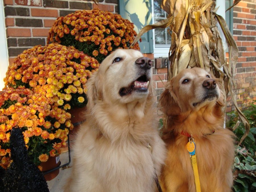 Pin by deb on Golden Retrievers I love dogs, Golden