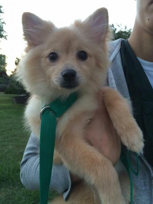 Adopt Pixie 3 Month Old Pom Chi On Pomeranian Chihuahua Mix