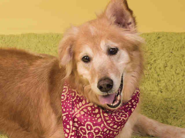 Collie Dog For Adoption In Pittsburgh Pa Adn 483193 On Puppyfinder Com Gender Female Age Senior Dog Adoption Collie Dog Dogs
