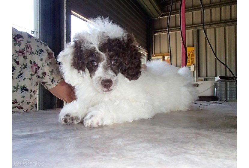 Harlequin Poodle Puppies 2 Miniature Poodle Harlequin Pups