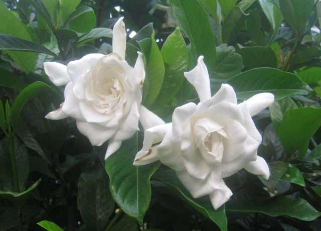 Why Are My Gardenia S Leaves Turning Black Vegetable Planting Guide Plants Gardenia Care