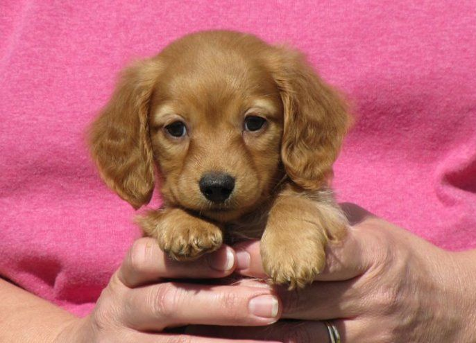 Adorable Little Dachshund Puppy The Size Of Hands Dachshund