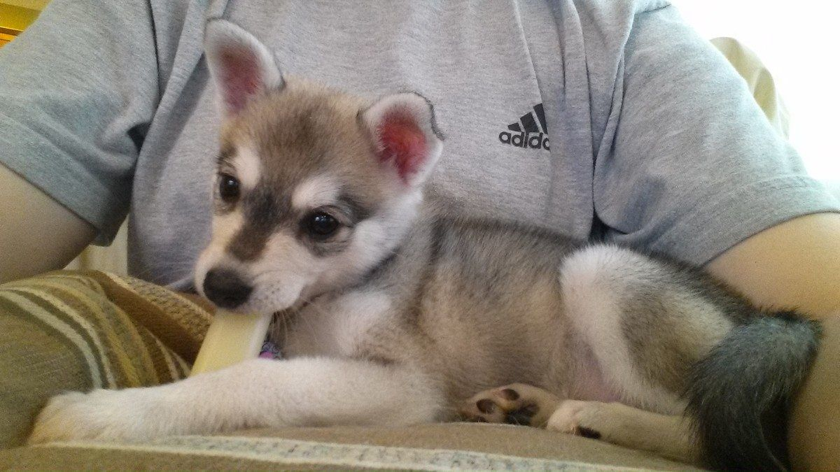 Our New 8 Week Old Alaskan Klee Kai Puppy Rukia A Pretty Gray