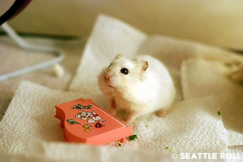Piano Lesson Lili Hamster Baby Hamster Russian Hamster