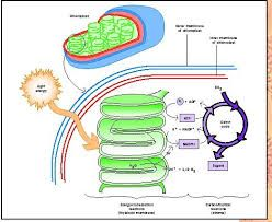 Image result for photosynthesis process