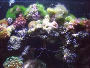 Nuisance Algae Id Guide Reef Cleaners Algae Pony Tank Reef Aquarium
