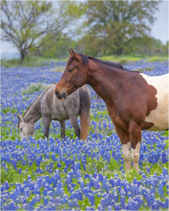 texas horse - Google Search