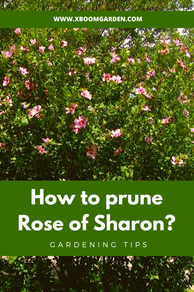 How To Prune Rose Of Sharon Correctly X Boom Garden Rose Of Sharon Rose Of Sharon Tree Hydrangea Bloom