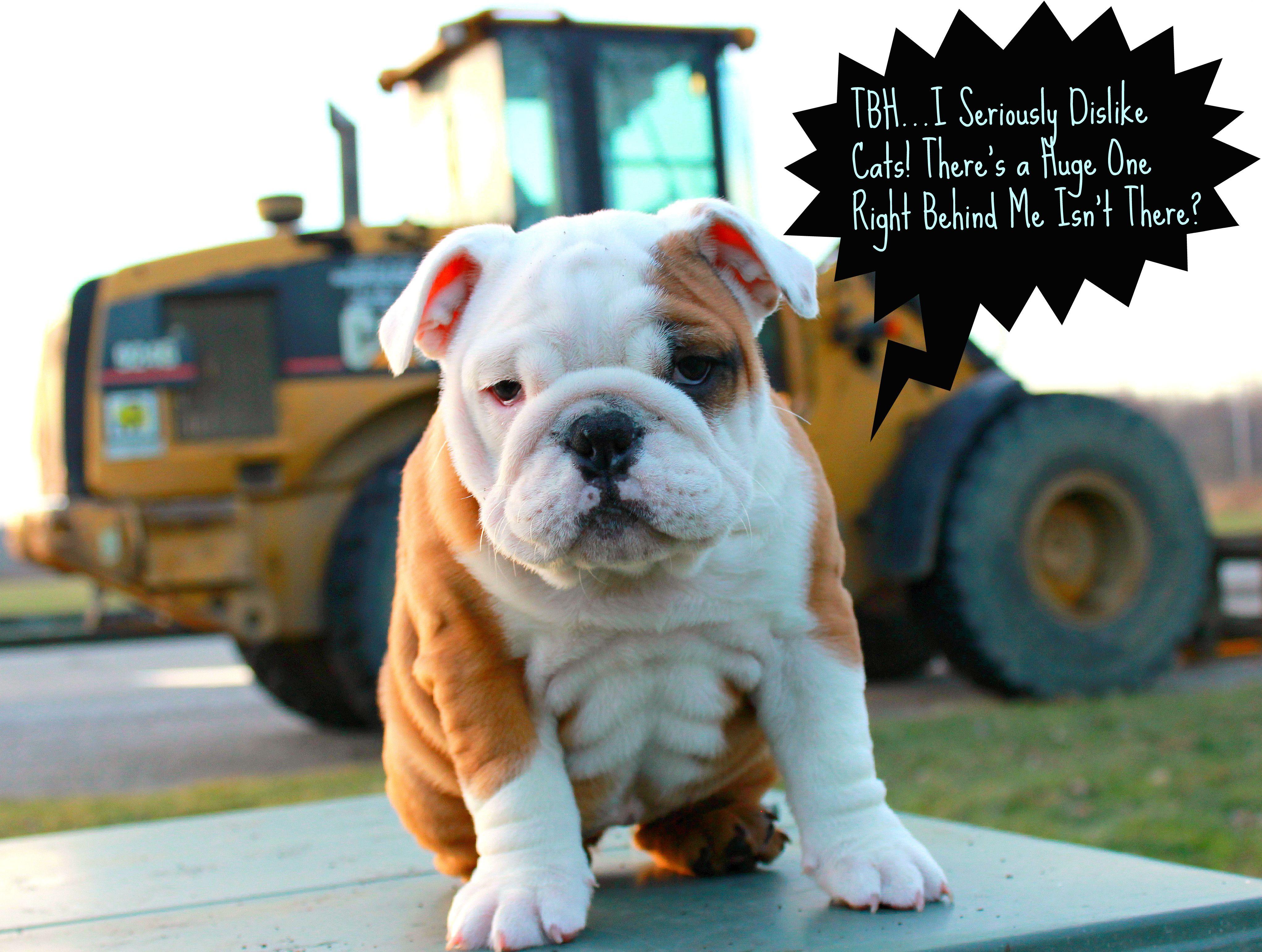 Indy S Got A Six Pack Of Rolls Bulldog Puppies English Bulldog Care Bulldog