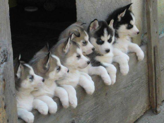 43 Adorable Puppy Photos Husky Hund Babytiere Und Hundebabys