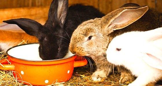 Raising Rabbits On The Homestead For Beginners   Raising ...