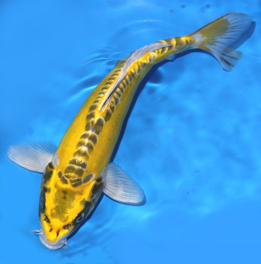 Live koi fish 10 11 scaleless yellow kin kikokuryu ghost for Live koi fish