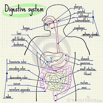 Spijsverteringssysteem van de mens