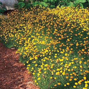 Cotula Tiffindell Gold Creeping Ons Is A Lush Looking Groundcover That Can Be