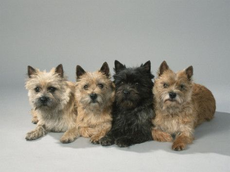 Cairn Terrier Photographic Print By Petra Wegner Cairn Terrier