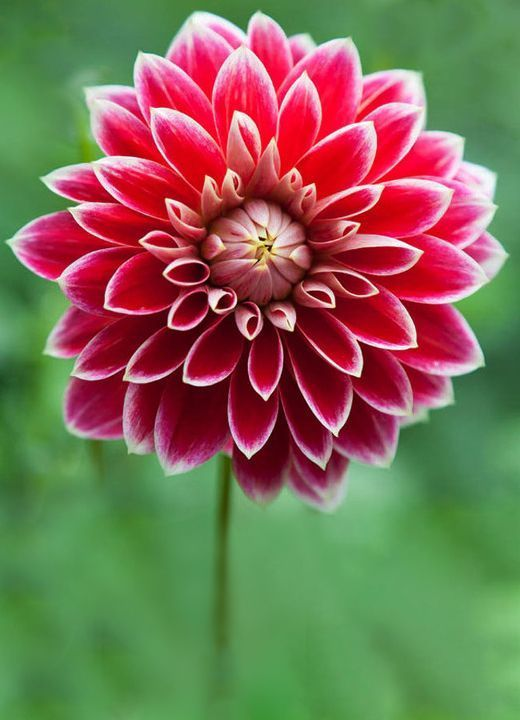 Top 10 Tips On How To Plant Grow And Care For Dahlia Flowers Top Inspired Dahlia Flower Rare Flowers Flower Essences